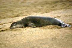 Dösende Mönchs-Robbe auf Kauai Lizenzfreie Stockfotografie