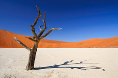 Dött akaciaträd i den Sossusvlei pannan Royaltyfri Bild