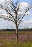 Dött björkträd - hed arkivfoton