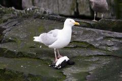 dött glaucous guiilemotfiskmås för äta royaltyfri fotografi