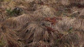 Dött gräs som vänder till torva i hed arkivfoto