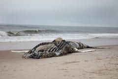 Dött kvinnligt puckelryggval inklusive svansen och rygg- fena på brandön, Long Island, strand, med sand i förgrund och Atlanten arkivfoto