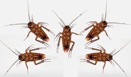 Dött lag för kackerlacka som isoleras på vit Arkivbild