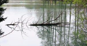 Dött liggande vatten för trädstam stock video