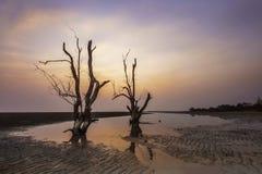 Dött mangroveträd med skymning Royaltyfri Fotografi