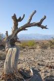 Dött poppelträd i sand nära sanddyn i Death Valley Cal Royaltyfri Fotografi