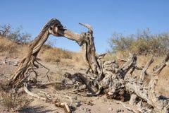 Dött poppelträd i sand nära sanddyn i Death Valley Cal Arkivfoto