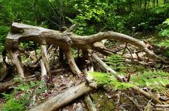 Dött trä Royaltyfri Fotografi