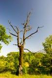 Dött träd Royaltyfri Fotografi