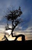 Dött träd Arkivbild