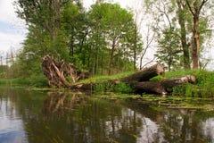 Dött träd för vildmark i sjöspreewald Royaltyfria Bilder