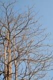 Dött träd i bakgrund för blå himmel arkivfoto
