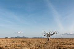 Dött träd i den afrikanska stäppen Arkivfoto