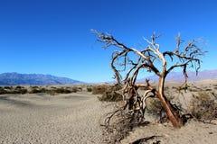 Dött träd i den Death Valley nationalparken, Kalifornien arkivbilder