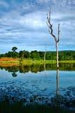 Dött träd i floden Royaltyfri Bild