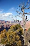 Dött träd i Grand Canyon Fotografering för Bildbyråer