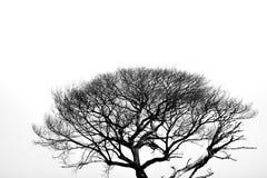 Dött träd i svartvit bakgrund arkivbild