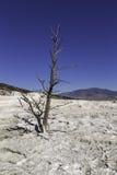 Dött träd i Yellowstone Royaltyfria Bilder