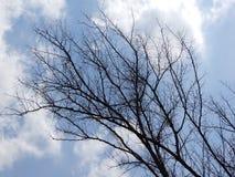 Dött träd med bakgrunden för blå himmel Fotografering för Bildbyråer
