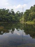 Dött träd mot bosatt rainforest Arkivbild