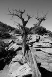 Dött träd mot Rocky Desert Royaltyfria Foton