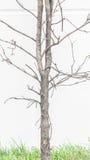 Dött träd och grönt gräs Arkivbilder