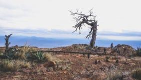Dött träd på berget på den stora krökningnationalparken Royaltyfria Bilder