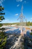 Dött träd på den Firehole våren på Firehole sjödrev i den Yellowstone nationalparken i Wyoming USA fotografering för bildbyråer