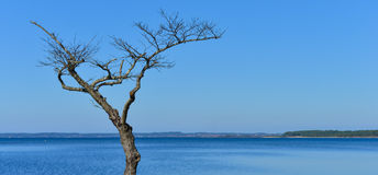 Dött träd på en sjö Arkivfoto