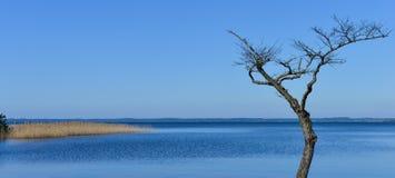Dött träd på en sjö Arkivbild