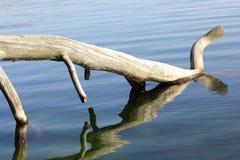 Dött träd på lakesiden Arkivbilder