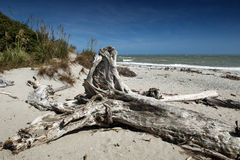 Dött träd som ashore kommas med på Tauparikaka Marine Reserve, Nya Zeeland Arkivbild