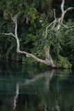 Dött träd som hänger nära vårhuvudet på regnbågevårar Arkivbild