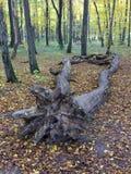 Dött träd som ligger i skogen Arkivfoto