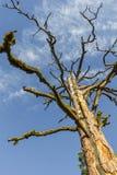 Dött träd som når in i himlen Arkivbilder