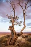 Dött träd vid öknen Arkivbilder