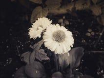 Dúo blanco y negro Fotos de archivo