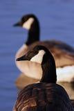 Dúo canadiense de los gansos Imagen de archivo libre de regalías
