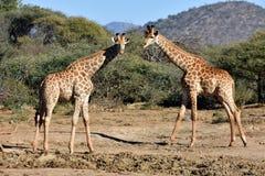 Dúo de la jirafa Foto de archivo libre de regalías