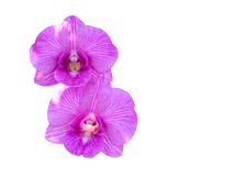 Dúo de la orquídea Imágenes de archivo libres de regalías