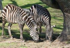 Dúo de las cebras que comen la hierba cerca de un árbol protegido bajo Sun fotografía de archivo