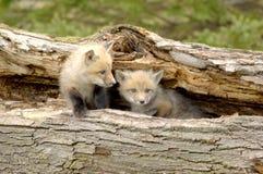 Dúo de los perritos del Fox rojo - vulpes del Vulpes Foto de archivo libre de regalías