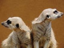 Dúo de Meerkat Foto de archivo libre de regalías