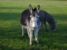 Dúo del burro fotografía de archivo libre de regalías