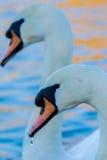 Dúo del cisne Fotos de archivo