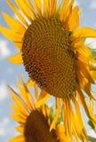 Dúo del girasol en campo de la luz del sol con el cielo azul Fotografía de archivo