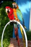 Dúo del Macaw Foto de archivo
