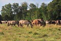 Dülmener wild horses. Wild horses in the district DÜLMEN Stock Photography