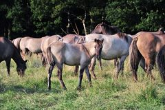 Dülmener wild horses. Wild horses in the district DÜLMEN Royalty Free Stock Photos