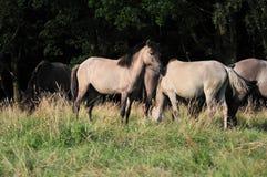 Dülmener wild horses. Wild horses in the district DÜLMEN Stock Image